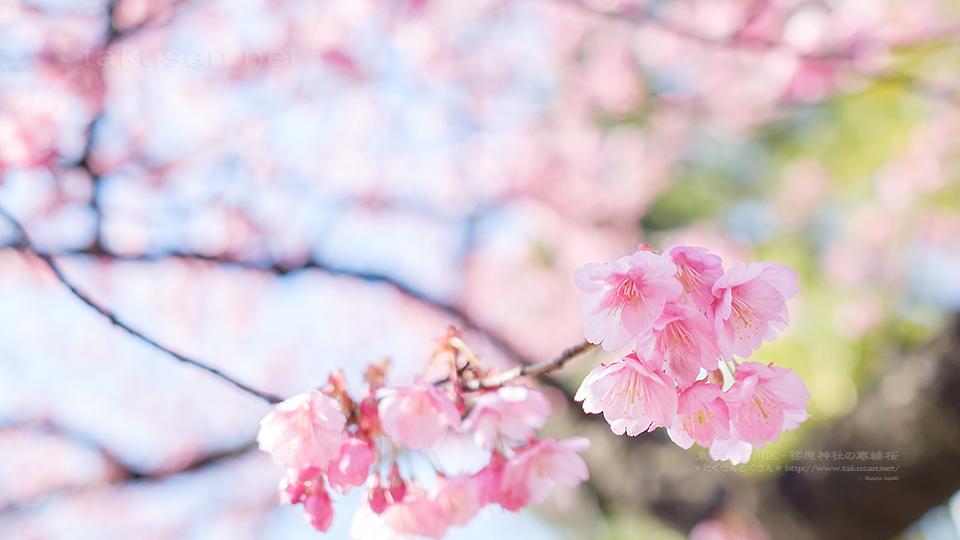 荏原神社の寒緋桜の壁紙