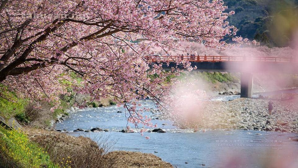 河津川沿いの河津桜並木の壁紙