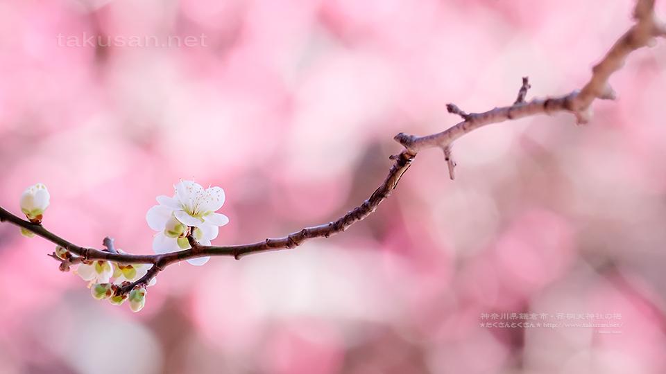 荏柄天神社の梅の壁紙